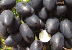 Виноград кардинал: описание сорта старой селекции, советы по выращиванию и уходу, отзывы