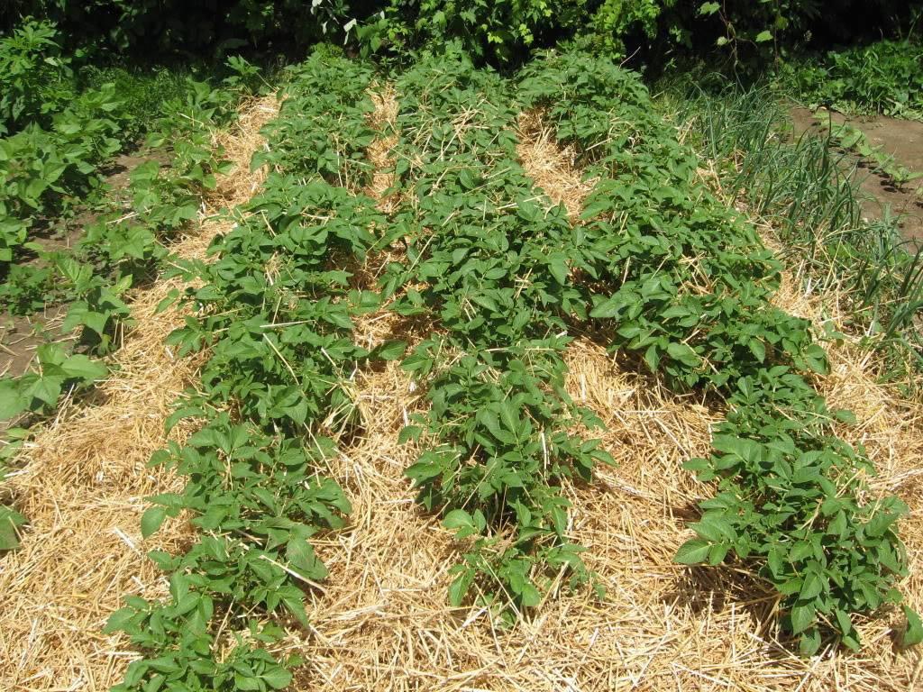 Правила посадки и выращивания картофеля по методу кизимы