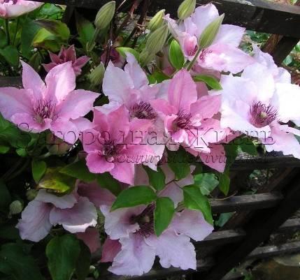 Клематисы крупноцветковые: сорта, посадка, уход и размножение