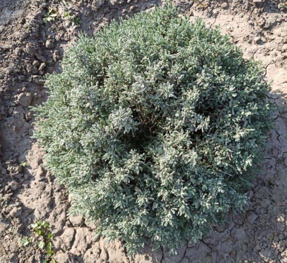 Посадка и уход за сантолиной в открытом грунте + описание растения, виды и сорта с фото, применение в ландшафте