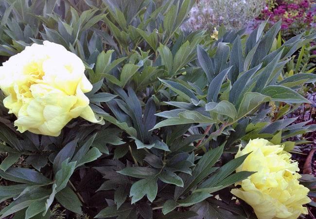 Чем подкормить пионы весной после зимы