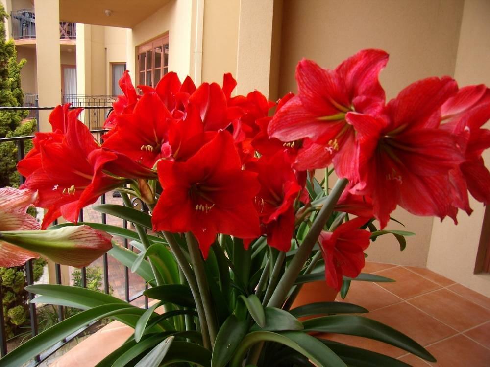 Комнатная лилия и уход за ней в домашних условиях