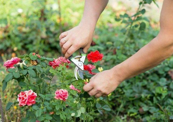 Пересадка роз, как и зачем. как пересадить розы осенью на другое место?