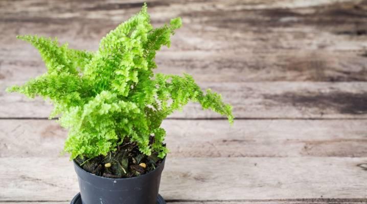 Комнатный папоротник: выращивание и уход в домашних условиях
