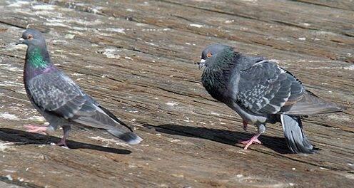 Как определить пол у голубя?