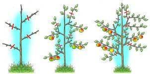 Уход и обрезка колоновидной яблони