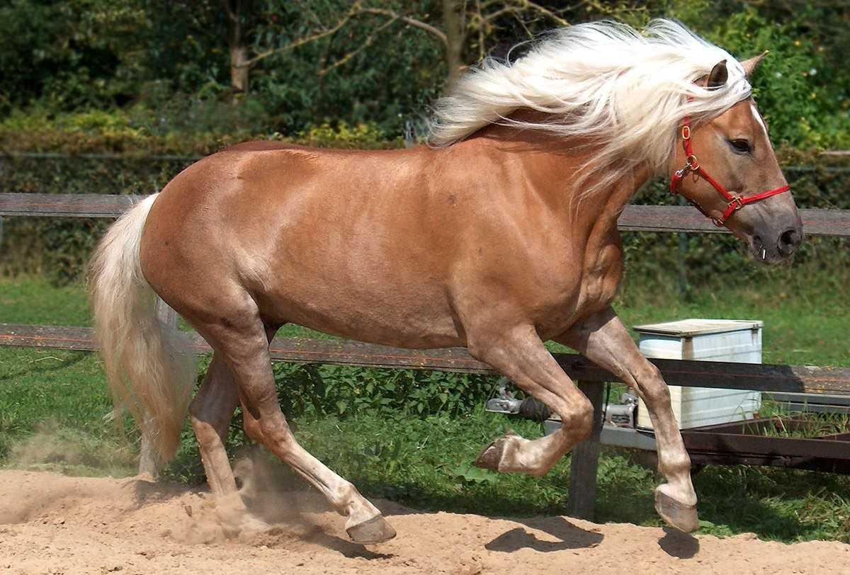 Канадская порода лошадей — описание и фото   мои лошадки