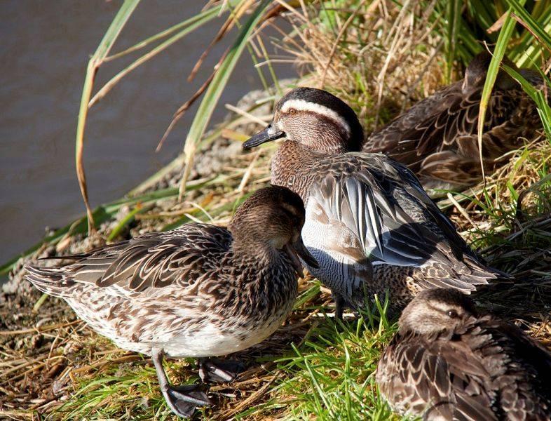 Утки чирок-свистунок, чирок-клоктун: описание, фото