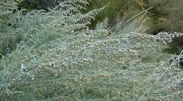 Полынь (фото растения) - советы, секреты, рекомендации