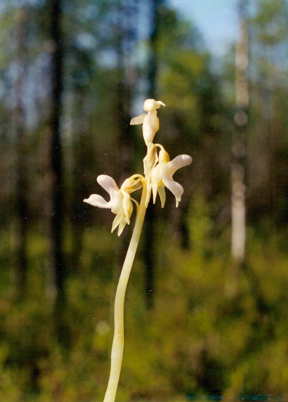 Нирембергия: фото, описание цветка, выращивание из семян, посадка, уход