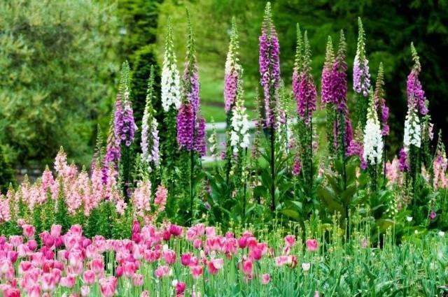 Cальвия блестящая: описание, фото цветов, посев, уход