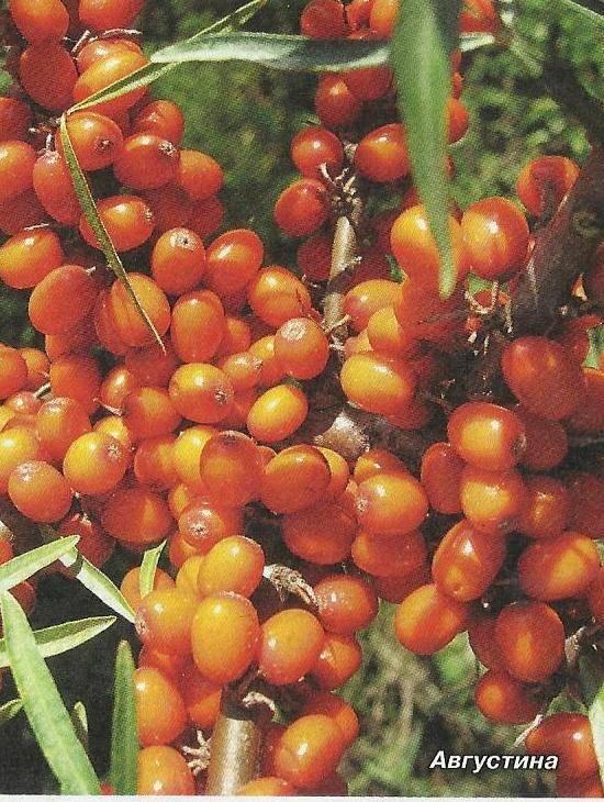 Популярные виды облепихи с фото и описанием, советы по выращиванию