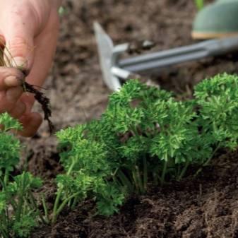 Морковь и керосин и все сорняки исчезнут - реальный метод обработки