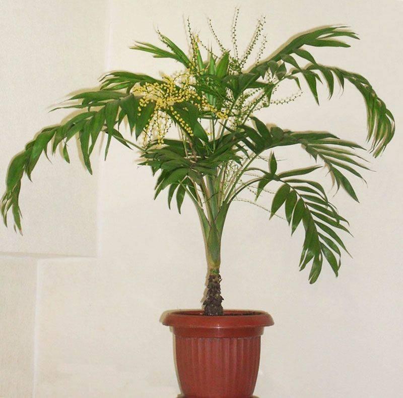 Хамедорея: уход в домашних условиях, секреты содержания пальмы
