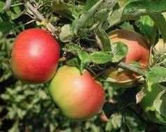 Яблоня неженка: описание сорта, фото, отзывы, морозостойкость карлика