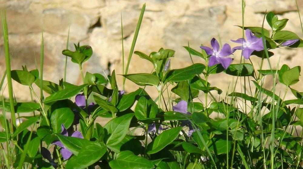 Выращивание в открытом грунте барвинка — цветка «жизненной силы»