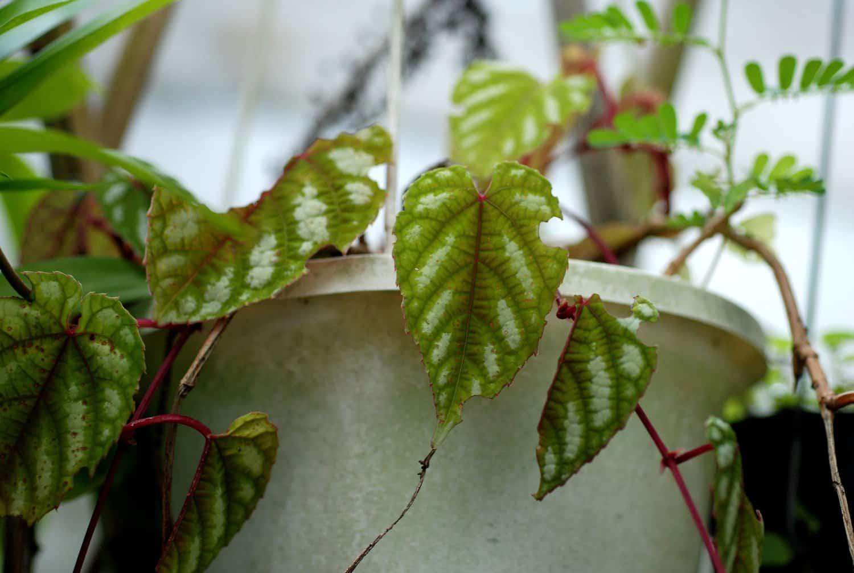 Цветок циссус: фото комнатного растения, видео ухода в домашних условиях, виды и разновидности циссуса