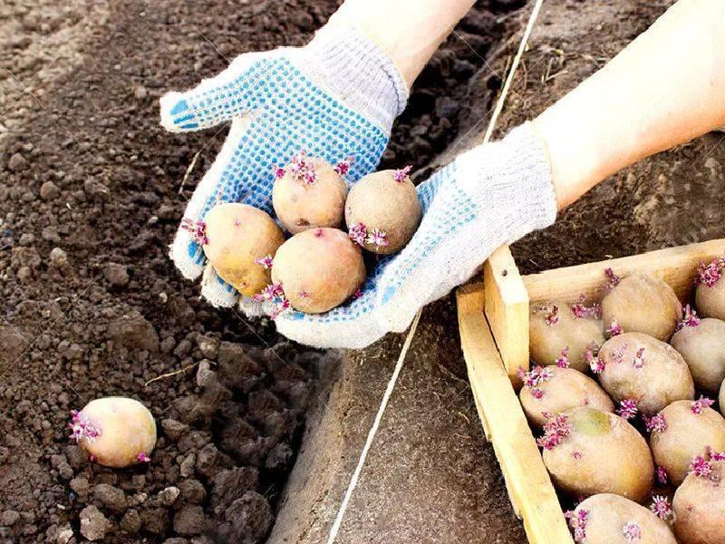 Каким удобрением подпитывать почву при посадке картофеля
