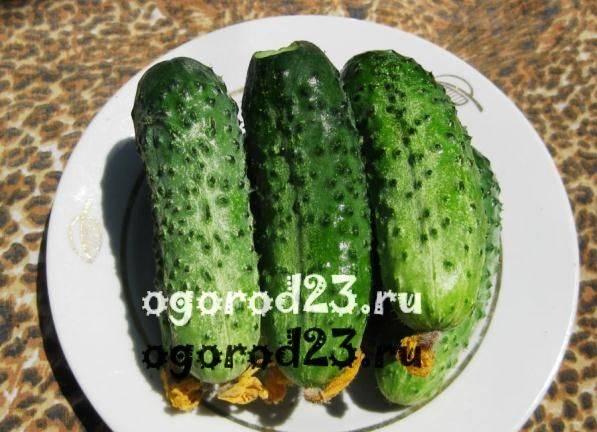 Огурец марьина роща f1 — описание и характеристика сорта