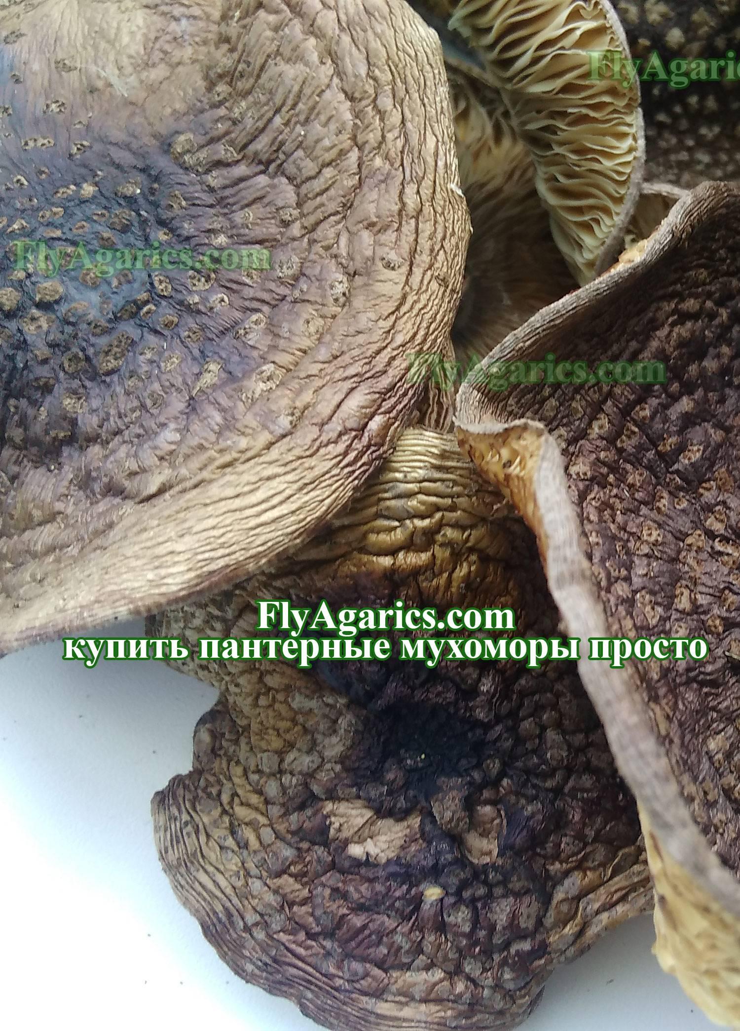 Гриб мухомор съедобный (amanita): где растет, виды, фото