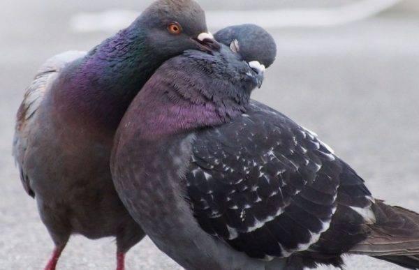 Как отличить голубя от голубки: лучшие способы