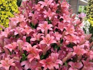 Королевские цветы на клумбе: выращивание лилий в открытом грунте