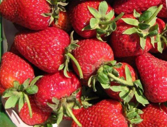 Описание сорта клубники альбион: ягоды круглый год из солнечной калифорнии