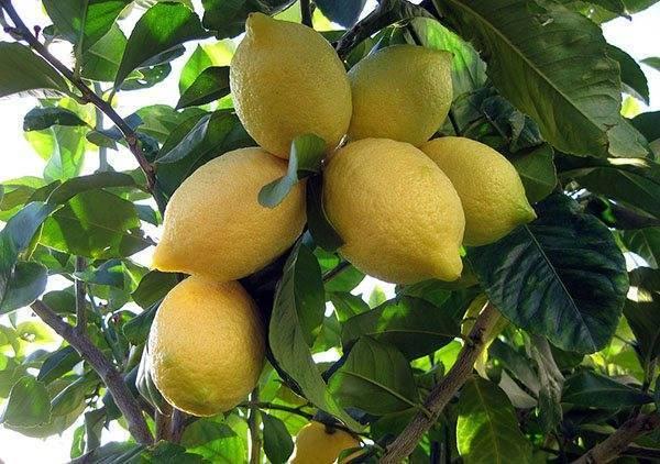 Как привить лимон в домашних условиях, чтобы он плодоносил: когда можно это делать, как правильно подготовить комнатное дерево из косточки, что такое метод в расщеп?дача эксперт