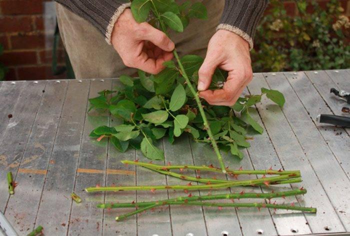 Черенкование роз осенью как размножать и укоренять черенки дома