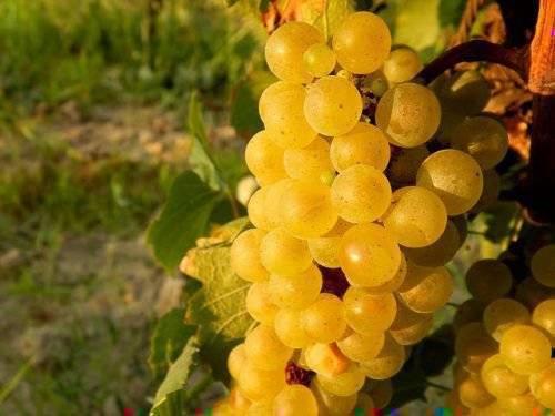 Сколько калорий в винограде, можно ли его есть при диете