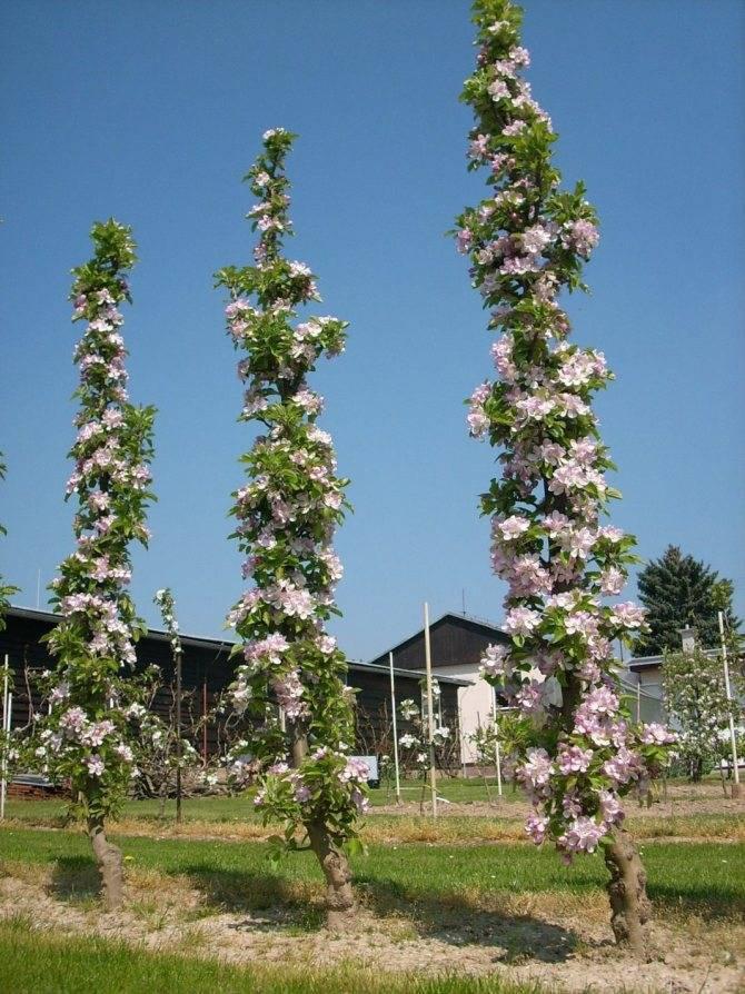 Обрезка абрикоса: почему у этого дерева все не так, как у его плодовых собратьев?
