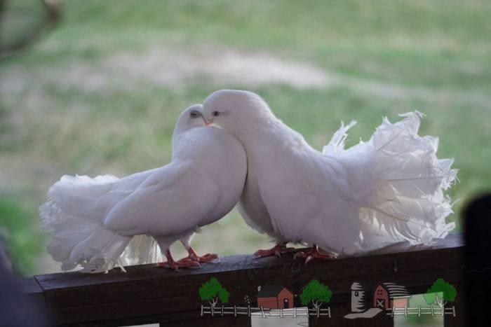 Как отличить голубей мальчика от девочки. как узнать пол голубя: различные методы определения. строение клюва и головы