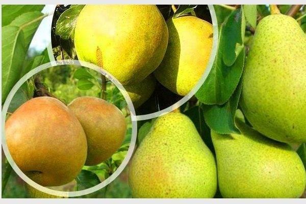 Груша сорта бергамот: описание, разновидности, выращивание, фото, отзывы