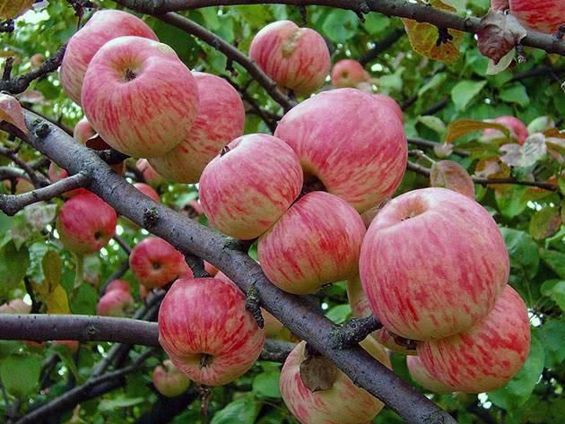 Яблоня: выращивание в саду, виды и сорта