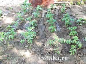 Когда окучивать помидоры после высадки в грунт и надо ли