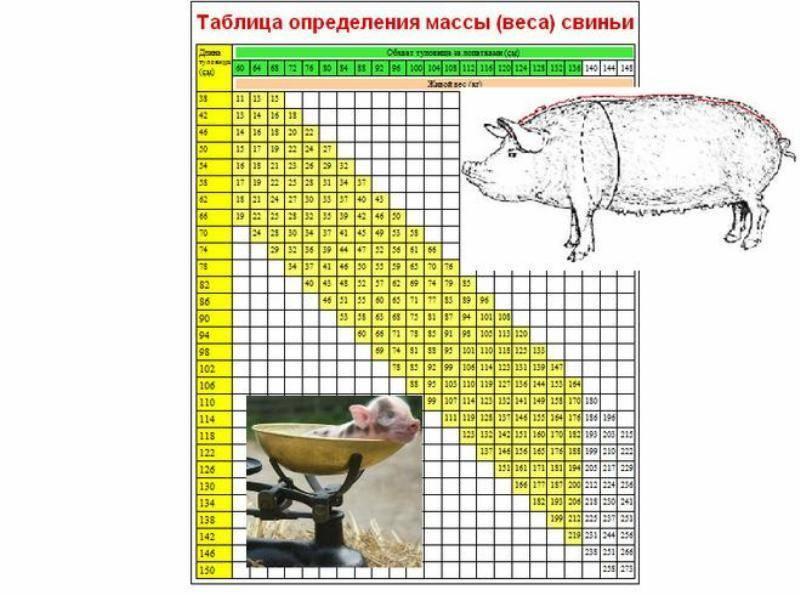 Сколько весит свинья? 20 фото таблица веса свиней по размерам. как узнать вес новорожденного поросенка? средний вес взрослых особей