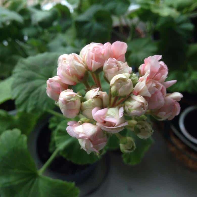 Герань (40 фото): как правильно ухаживать за садовым многолетним и однолетним цветком? особенности посадки в открытый грунт. как выглядит герань?