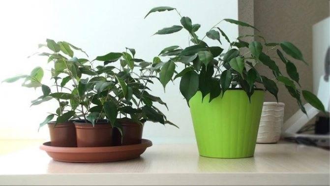 Фикус барок: описание и характеристики растения , как ухаживать за цветком бенджамин барокко, пересадка и размножение в домашних условиях