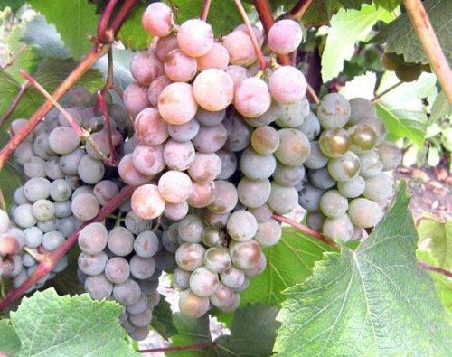 Дубовский красный — гибридная форма винограда