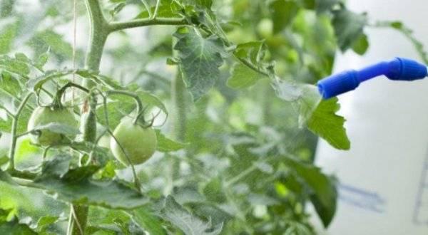Медный купорос от фитофторы на помидорах: как приготовить раствор и как правильно обработать томаты