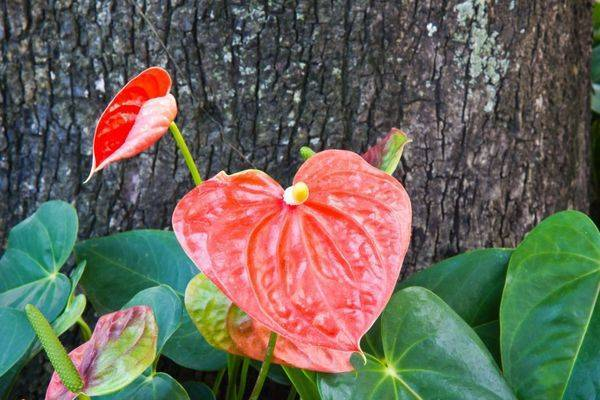 Антуриум: уход в домашних условиях, особенности выращивания цветка