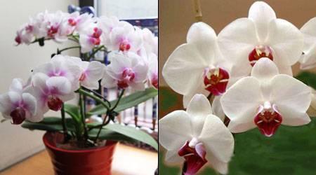 Почему орхидея не цветет и что делать, чтобы стимулировать цветение