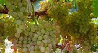 Посадка и уход за виноградом в подмосковье - видео об обрезке и борьба с болезнями