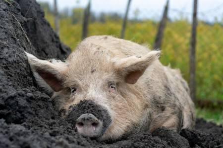 Какие бывают методы селекции свиней?   cельхозпортал