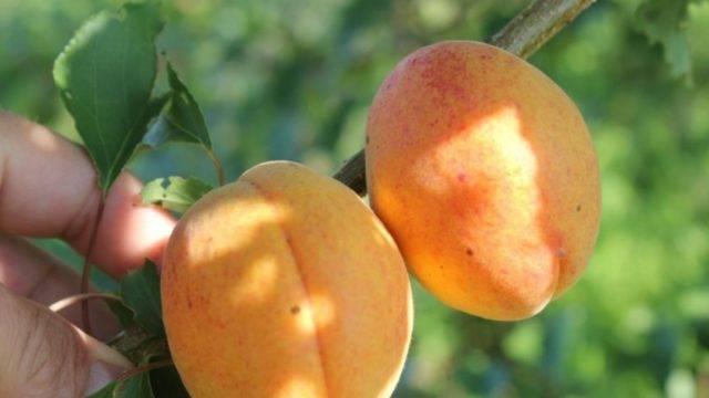 Абрикос персиковый: описание сорта, фото абрикос персиковый: описание сорта, фото