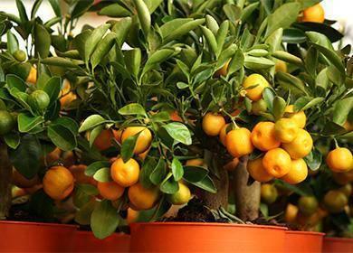 Сложно ли вырастить мандариновое дерево в домашних условиях?
