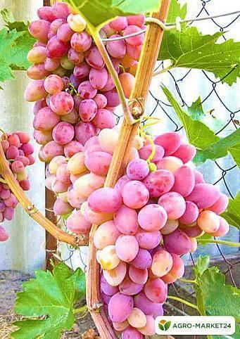 Гибридный сорт винограда гала