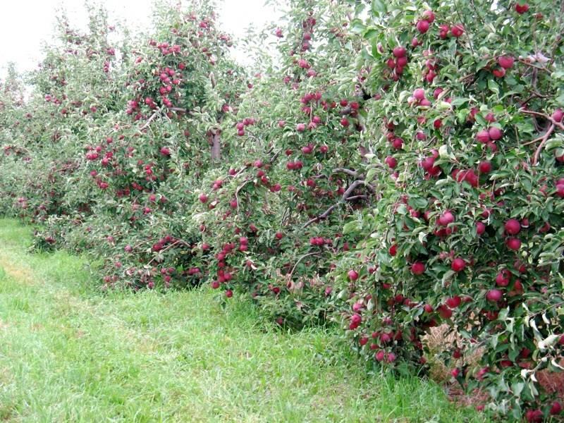 Карликовые яблони: сорта и особенности выращивания
