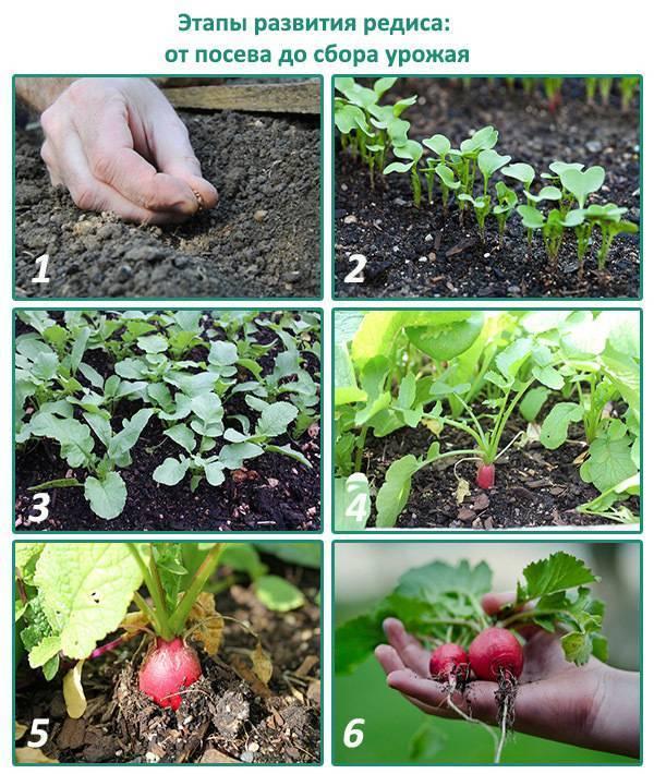 Когда сажать редиску под пленку весной, при какой температуре можно это делать и как сеять в марте и апреле семена ранних сортов овоща в открытый грунт под парником? русский фермер