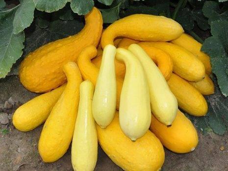Выращивание желтых кабачков